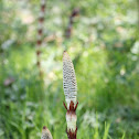 Giant Horsetail