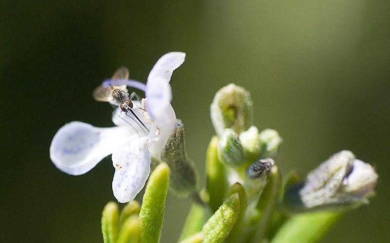 [Geron sp.] Sur une fleur de basilic Mouchern%20trompe