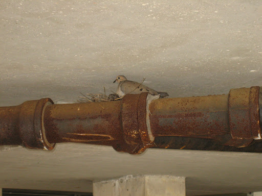 Bird nesting on a pipe in a Wheaton, IL parking garage
