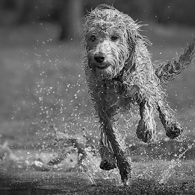 splash by Michael  M Sweeney - Black & White Animals ( natural light, playful, nikonshooter, splash, speed, black and white, joy, labradoodle, michael m sweeney, running, photography, playing, d3, joyfull, splashing, pro, puppy, dog, nikon, animal )