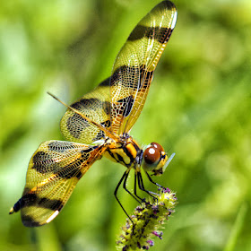 DSC06867_halloween-pennant-dragonfly-insect-wing-in-mouth-pix.jpg