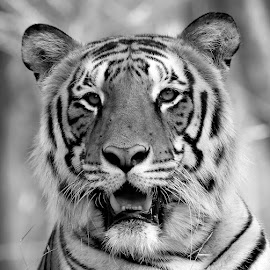 by S Balaji - Black & White Animals ( s.balaji, animals, tiger, style, nature, bannerghatta national park,  )