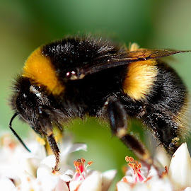 Bumble Bee by Arindam Mondal - Animals Insects & Spiders