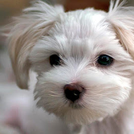 Rascal by Jackie Stoner - Animals - Dogs Puppies ( white, cuddly, puppy, dog, small )
