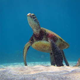 Huno Table by Paulphin Photography - Nature Up Close Water ( low-angle, sea turtle, underwater, turtle, hawaii,  )
