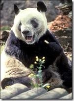 Old-panda_280_478646a