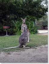 Wallaby and Roo