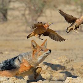 Escape by Tobie Oosthuizen - Animals Birds ( bird, nature, hunting, prey, sandgrouse, jackal, escape,  )