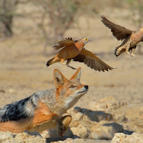 Escape by Tobie Oosthuizen - Animals Birds ( bird, nature, hunting, prey, sandgrouse, jackal, escape,  )