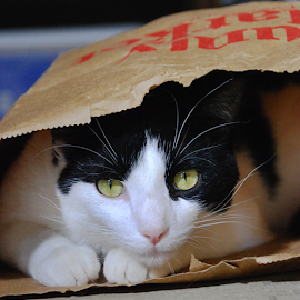 Puddin' Pie in the Bag by Jane Spencer - Animals - Cats Playing ( grocery, paper bag, cat, puddin'pie, playtime )