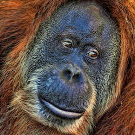 Vogue by Tony Austin - Animals Other Mammals ( face, ape, orangutan, mammal, eyes )