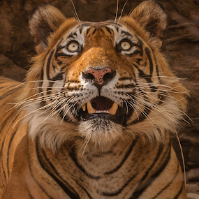 Tiger by Avtar Singh - Animals Lions, Tigers & Big Cats ( tiger eyes, tiger, avtar singh,  )