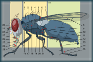 Housefly1