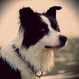 border collie by Mariska Brink - Animals - Dogs Portraits ( border collie, dog )