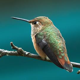 Hummingbird by Sheldon Bilsker - Animals Birds ( bird, park, nature, hummingbird, animal )