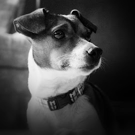Handsome Boy by Sandy Considine - Animals - Dogs Portraits