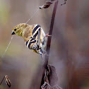 Goldfinch (collecting silk)