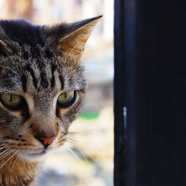 Stray by Kajsa Karlsson - Animals - Cats Portraits ( cat, rome, green eyes, stray, stray cat,  )
