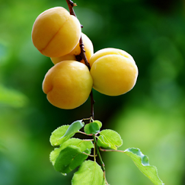 Fresh Apricot by Winkie Chau - Food & Drink Fruits & Vegetables ( fresh, fruits, vegetables, crops, apricot,  )