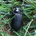 Broad Neck Beetle