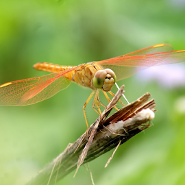 Dragonfly by Robien Hoed - Animals Insects & Spiders (  )