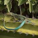 Aruba Whiptail Lizard