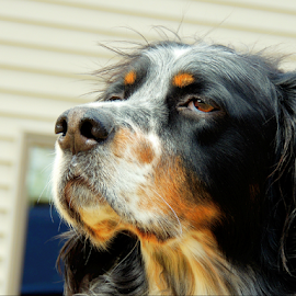 Radar by Sydney Badeau - Animals - Dogs Portraits ( white, setter, brown, dog, english, black )