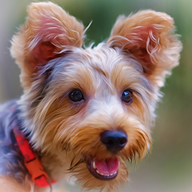 KING!! by Ferdinand Ludo - Animals - Dogs Portraits ( yorkie, photo shoot, photo portrait )