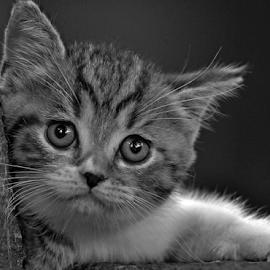 by Cacang Effendi - Black & White Animals ( kitten, cat, animals, chandra )
