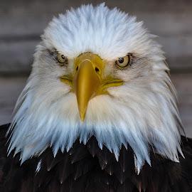 Grumpy stare by Garry Chisholm - Animals Birds ( bird, garry chisholm, eagle, nature, wildlife, prey, raptor )