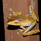 File Eared Tree Frog