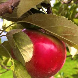 The original fruit by Bridget Wegrzyn - Food & Drink Fruits & Vegetables (  )