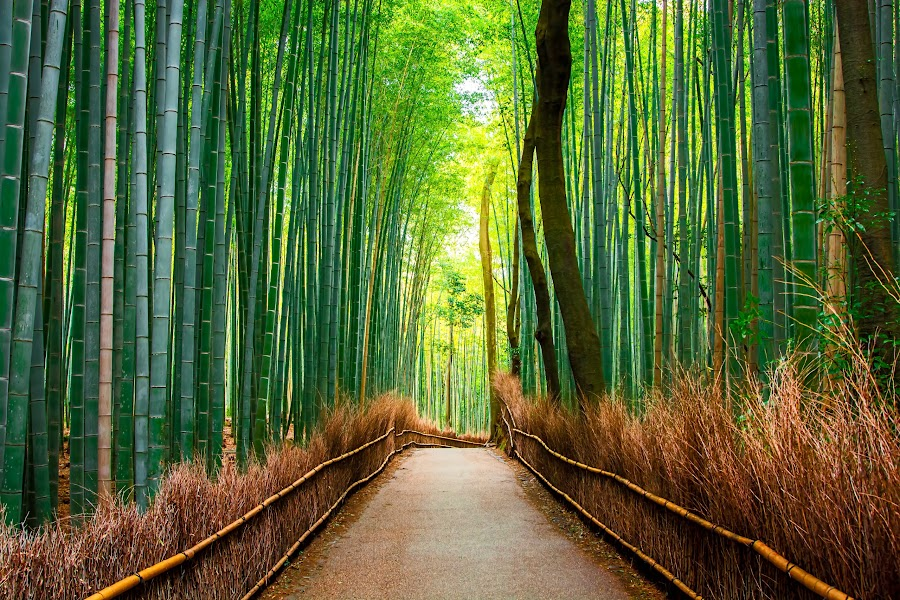 Bamboo Forests of Kyoto by Justin Orr - Landscapes Forests ( bamboo, japan, green, kyoto, magical, path, forest, landscape, arashiyama,  )