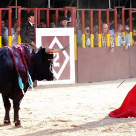Redden Bull by Andrei Marius Gheorghiu - Sports & Fitness Other Sports ( punishment, kill for fun, kill, show, fun, bull fight, bull, spain, toreador, arena, taurine, fiesta, festival, corida, killer, animal )