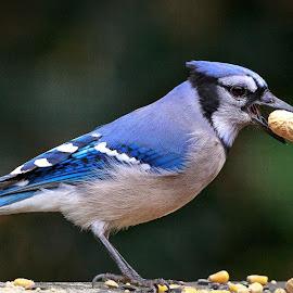 P-nut Jay by Lou Plummer - Animals Birds
