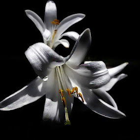 ..Night in White Satin... by Mirela Korolija - Flowers Flowers in the Wild