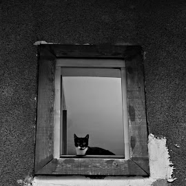 peek a boo by Eglė Vándenio - Animals - Cats Portraits ( grayscale, look, cat, window, sarajevo, peek )