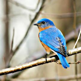 Mr. Blue by Mary Kaye Zugelder - Animals Birds ( bluebird, male, branch, spring, portrait,  )