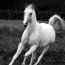 The white stallion by Christiane Baur - Animals Horses ( stallion, wild, free, pasture, white, galopping, grey, arabian,  )