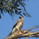 Red Tailed Hawk (Juvenile)