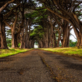 Cypress Tunnel  by Mark Cote - Transportation Roads ( building, point reyes national seashore, cypress, road, historic, rca,  )