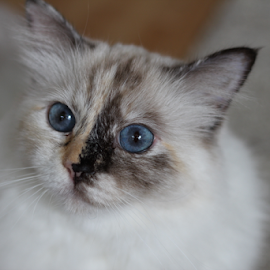 Blue eyed innocent look of a Sacred Birman by Birgit Vorfelder - Animals - Cats Portraits ( tortoise, cat, big eyes, tortie, innocent look, cat portrait, blue eyes, mammal, split face, animal )