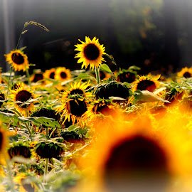 Rise in Light by Prabal Basu - Novices Only Flowers & Plants ( sunflower )