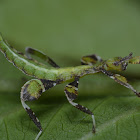 Leaf Insect, Phasmid - Nymph