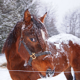 I Grow Winter Coat by Teza Del - Animals Horses ( animal portrait, winter coat, horse )