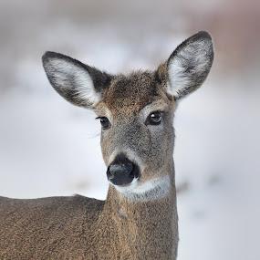 Doe Eyes by Liz Crono - Animals Other Mammals ( wildlife, doe, eyes, deer )
