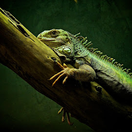 Giant Lizard by Catherine Trudeau - Animals Amphibians ( lizard )