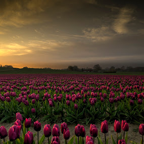 Tulips in the sunset by Kim  Schou - Flowers Flower Gardens ( tree, sunset, vesterborg, tulips, lolland,  )