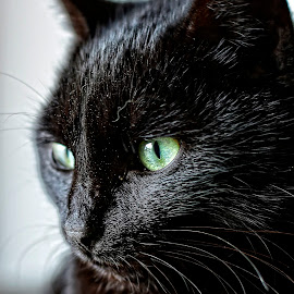 black cat by Maxim Kupriyanov - Animals - Cats Portraits ( cat, green eyes, close up, black, animal )
