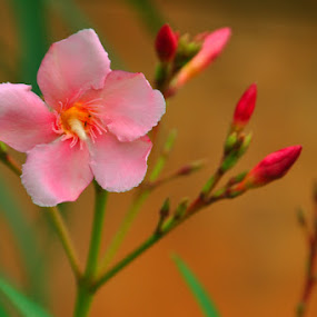 The Pinki by Akash Kumar - Novices Only Flowers & Plants ( happy, beautiful, pink, buds, welcoming, flower )